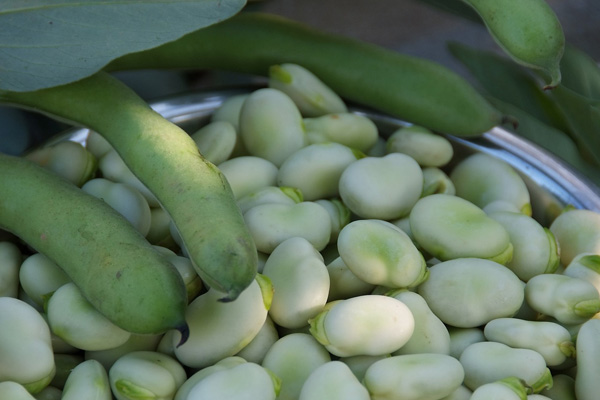 grow broad beans